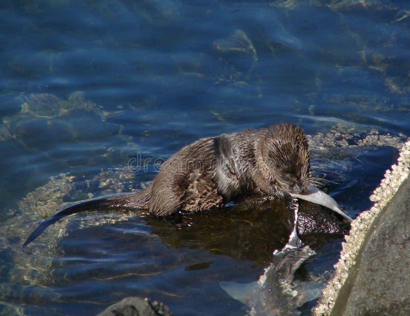 Download Het Overzeese Eten Van De Otter Stock Afbeelding - Afbeelding bestaande uit eating, verwond: 275589