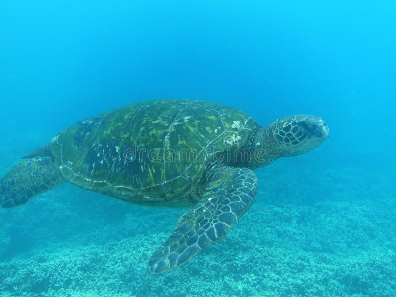 Het overzeese schildpad onderwater zwemmen stock foto's