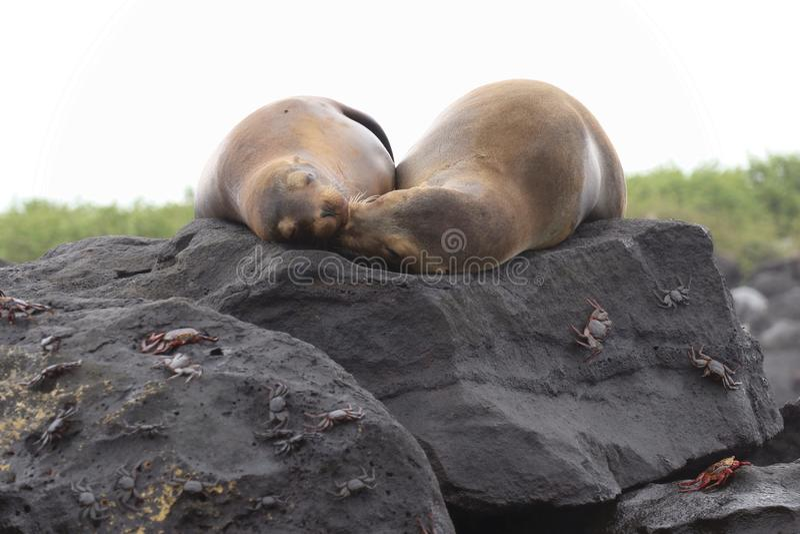 Het Overzeese van de Galapagos Zonnen stock afbeelding