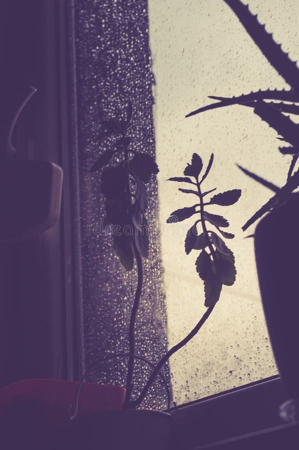 Het overzicht van aloes tegen het licht, u kan het druipen regendalingen op het glas zien royalty-vrije stock afbeelding