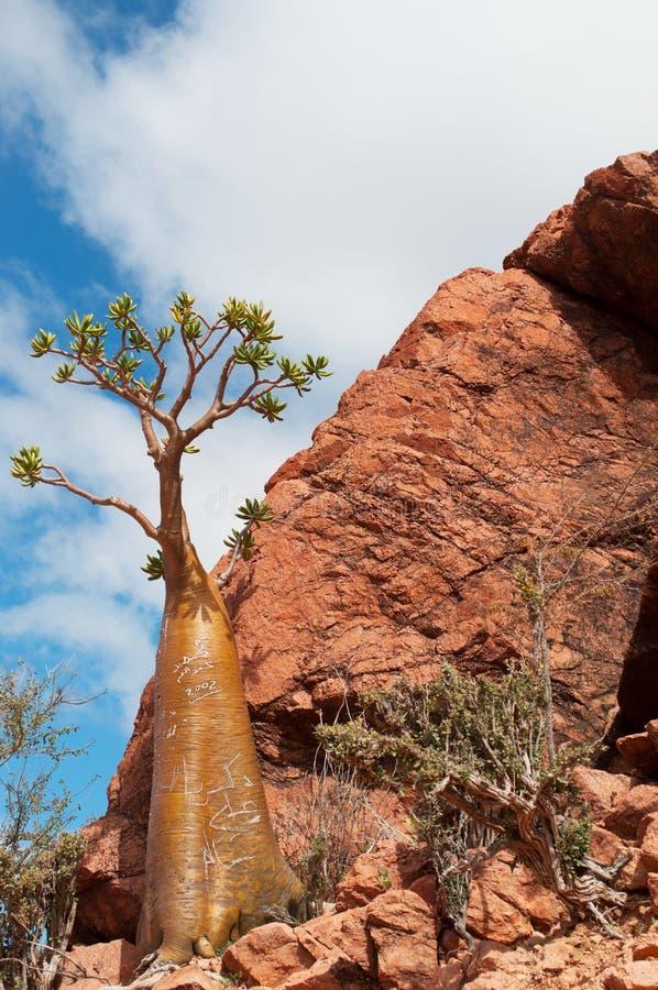 Het overzicht van de flessenboom, Dragon Blood-bomenbos in Homhil-Plateau, Socotra, Yemen royalty-vrije stock afbeeldingen