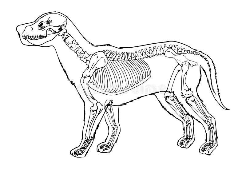 Het overzicht van het hondskelet vector illustratie
