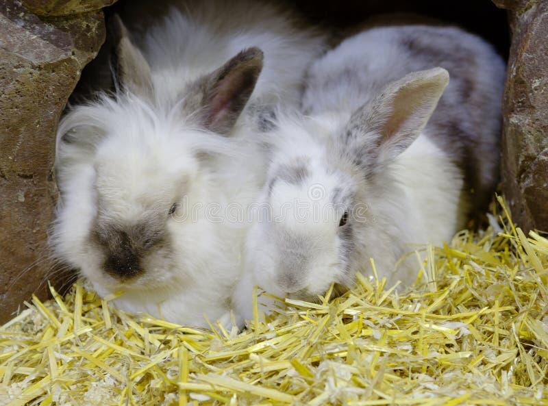 Het paar konijnen royalty-vrije stock foto's