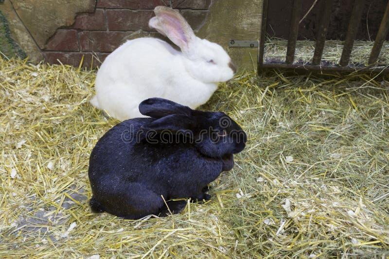 Het paar konijnen royalty-vrije stock foto