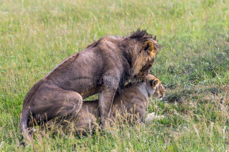 Het paar leeuwen stock foto