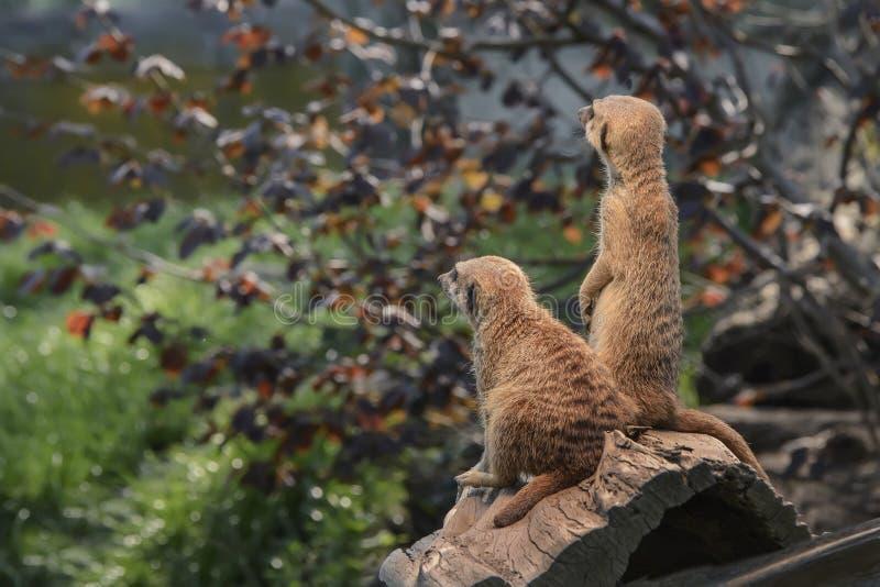 Het paar mooie pluizige meerkats is waakzaam en nieuwsgierig om int. te kijken stock afbeelding