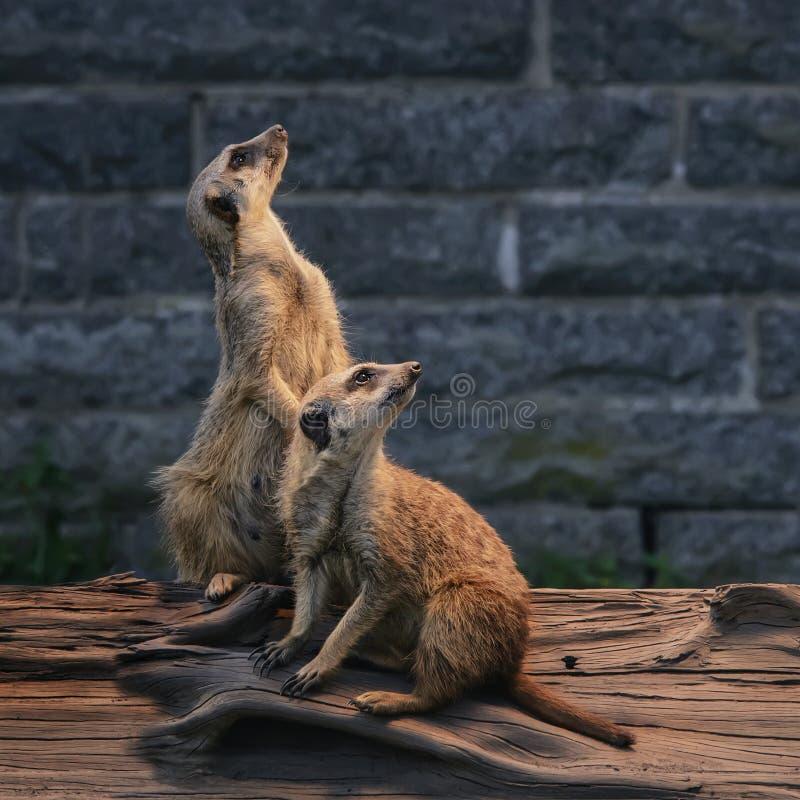 Het paar mooie pluizige meerkats is waakzaam en nieuwsgierig om int. te kijken stock afbeeldingen