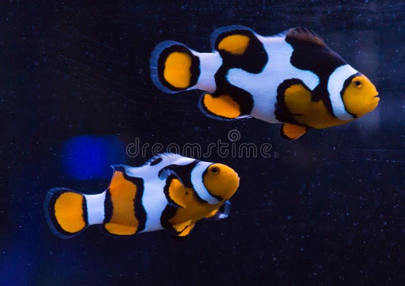 Het Paar van Clownfish royalty-vrije stock afbeeldingen
