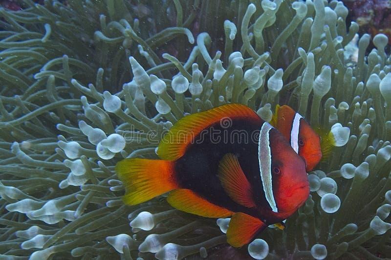 Het paar van clownvissen stock foto