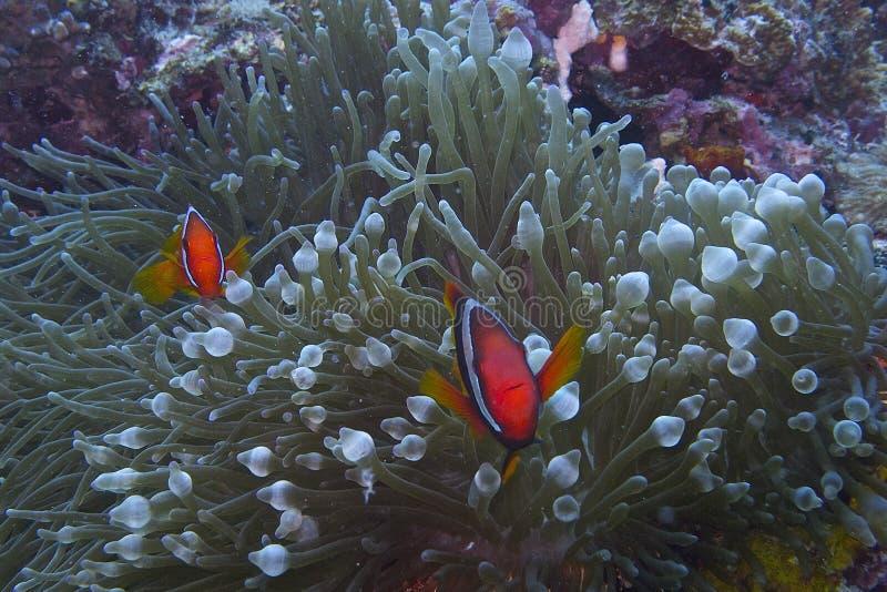 Het paar van clownvissen stock foto's
