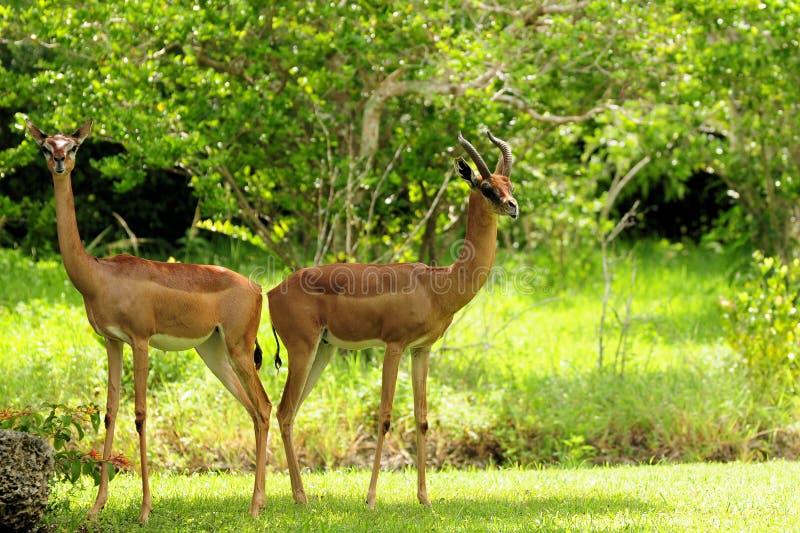 Het Paar van de gazelle royalty-vrije stock afbeelding