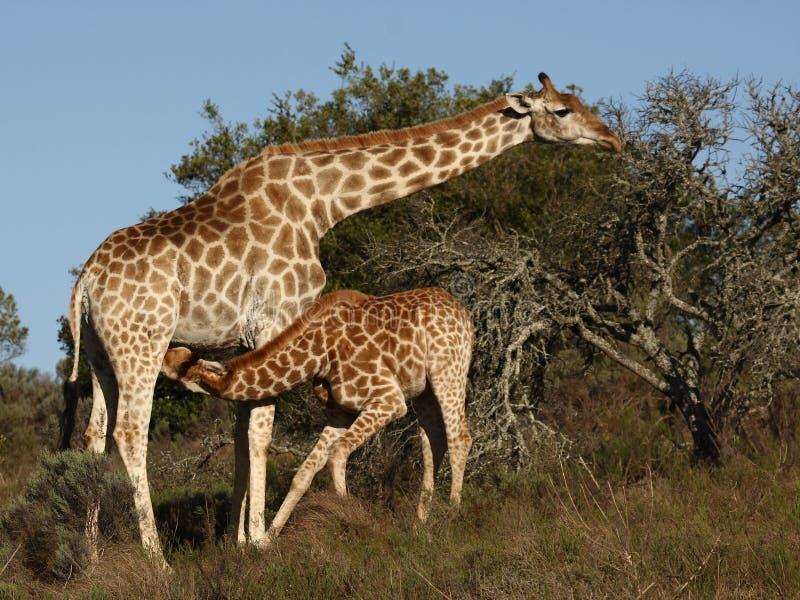 Het paar van de giraf. stock afbeelding