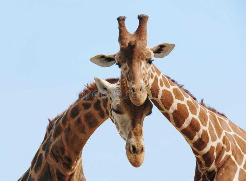 Het paar van de giraf in liefde stock afbeeldingen