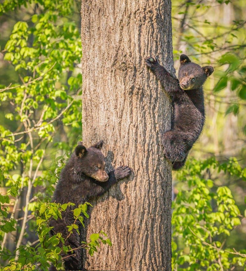 Het paar van de oude zwarte van drie maanden draagt welpen die boom beklimmen TIF stock foto