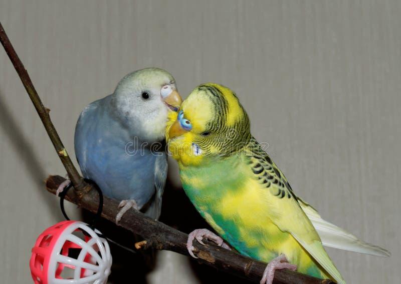 Het paar van jonge Budgeigar-papegaai zit op een tak en een kras elkaar royalty-vrije stock foto