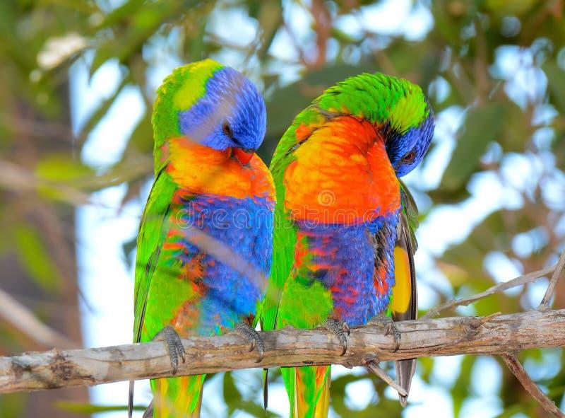 Het paar van kleurrijke regenboog lorikeets strijkt glad stock fotografie