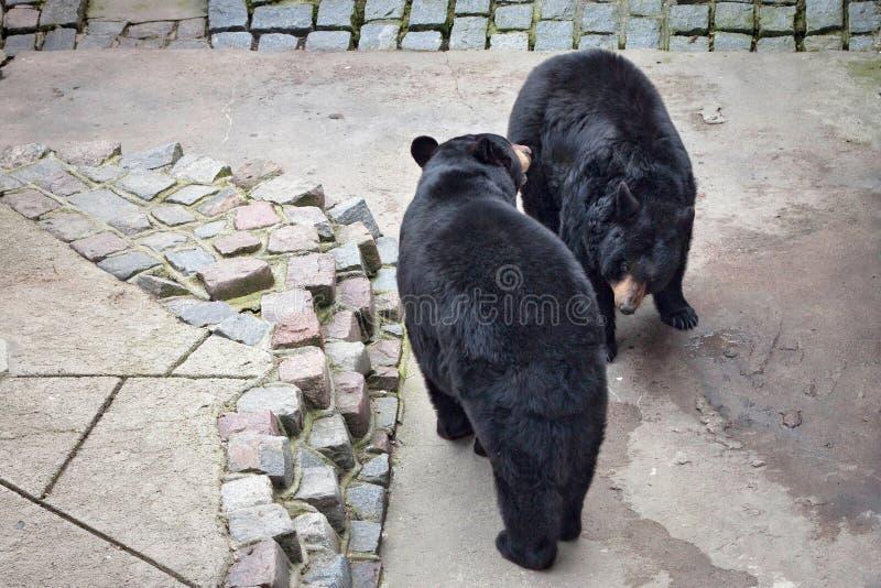 Het paar van Manchurian zwarte draagt thibetanusussuricus van Selenarctos Ursus stock foto