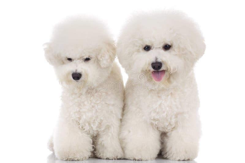 Het paar van mooie bichon frise puppy samen zittend stock afbeeldingen