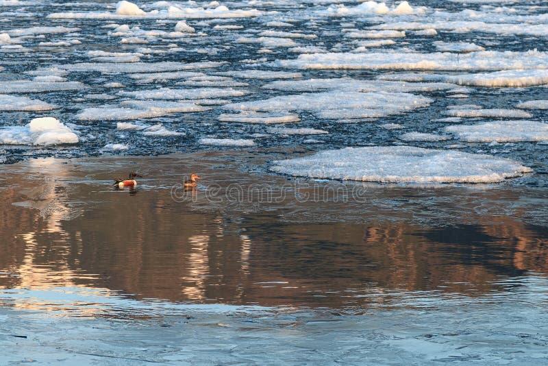 Het paar van noordelijke slobeenden onder drijvend ijs in water met gaat royalty-vrije stock foto's