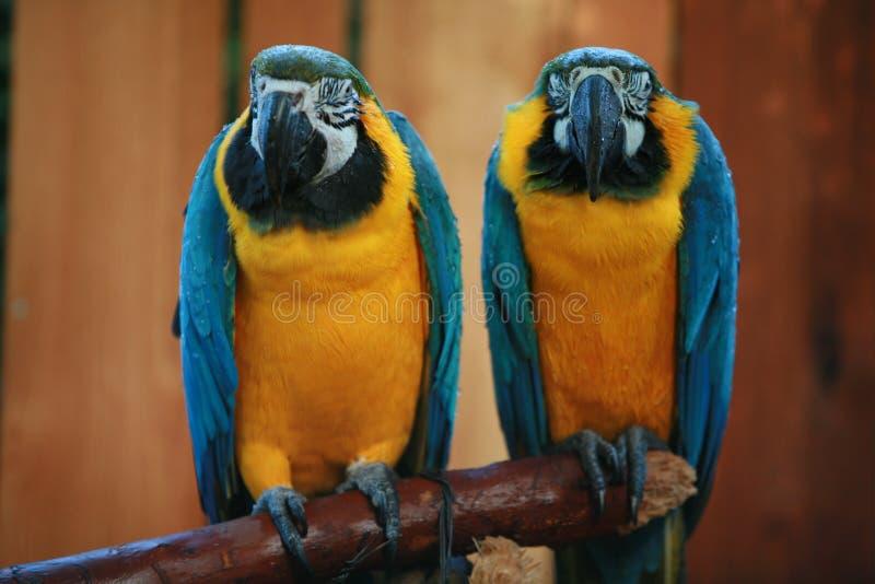 Het paar van papegaaien royalty-vrije stock afbeelding