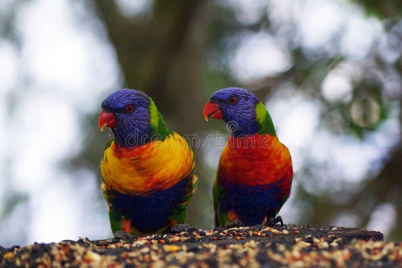 Het paar van regenbooglorikeet royalty-vrije stock foto