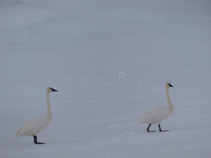 Het paar van sneeuwganzen royalty-vrije stock afbeeldingen