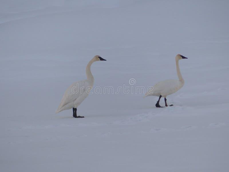 Het paar van sneeuwganzen royalty-vrije stock fotografie