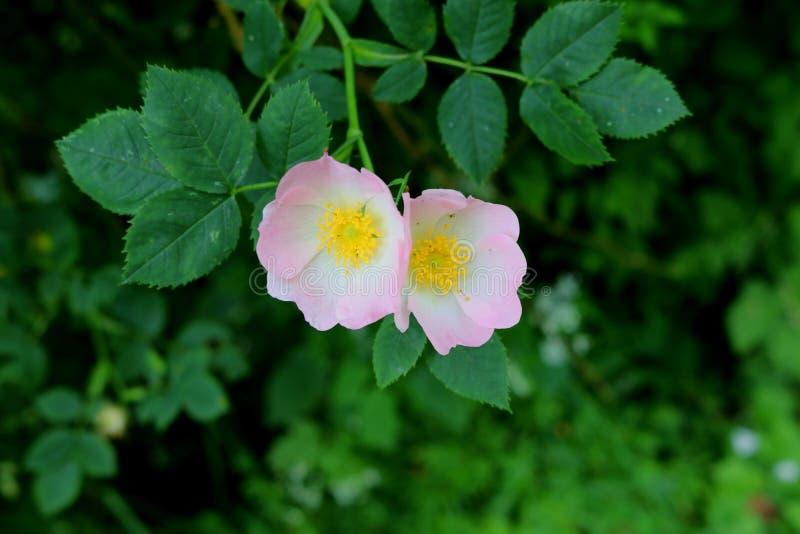 Het paar wilde het groeien rozen met roze bloemen, sluit omhoog royalty-vrije stock fotografie