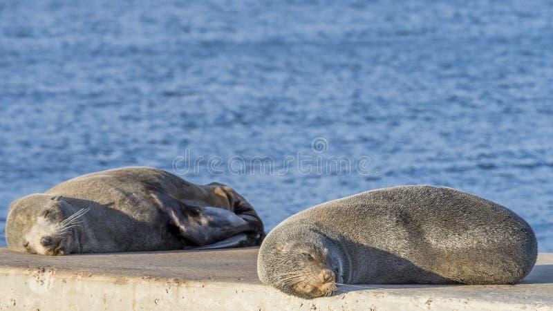 Het paar zeeleeuwen rust lui op de rotsen, Kingscote, Kangoeroeeiland, Zuidelijk Australië stock afbeeldingen