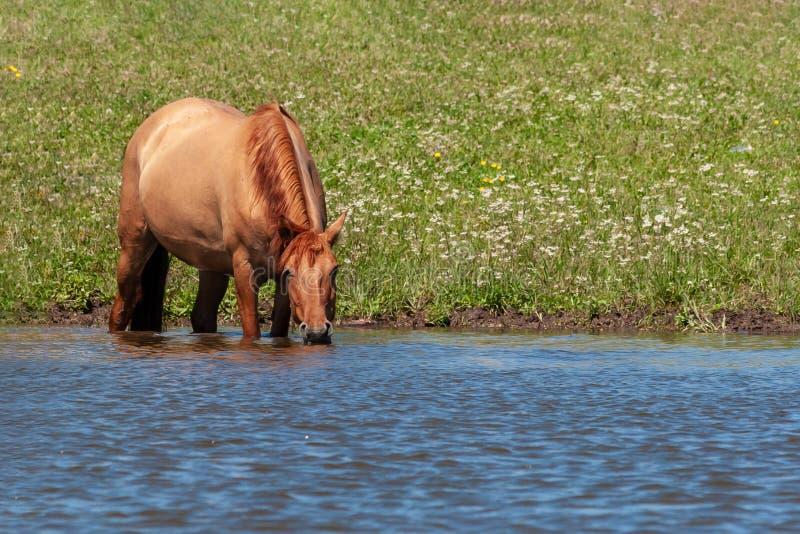 Het paard bevindt zich in het water van de vijver en drinkt daar water van Paarden bij de plaats van het water geven Basjkirië stock foto's