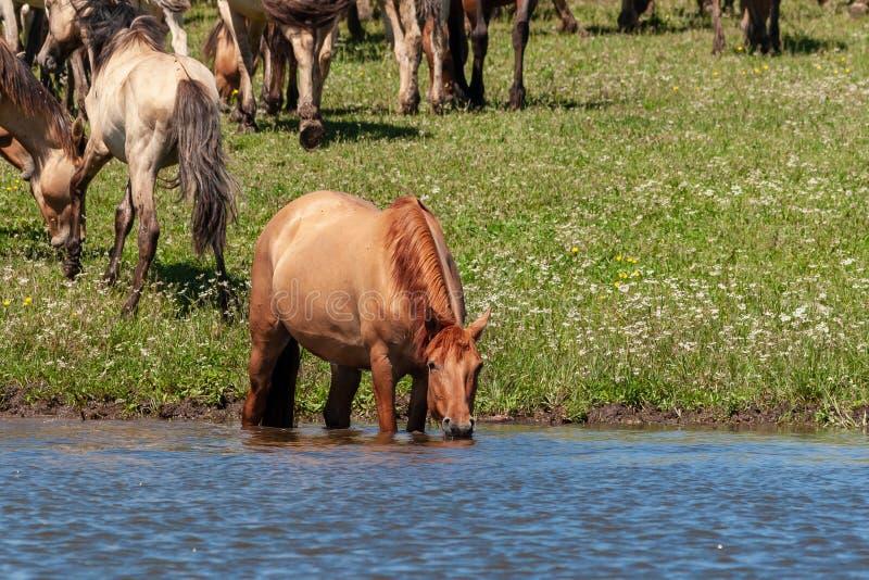 Het paard bevindt zich in het water van de vijver en drinkt daar water van Paarden bij de plaats van het water geven Basjkirië stock foto