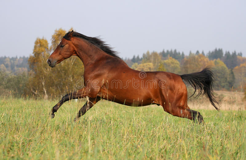 Het paard dat van de baai op de de herfstweide loopt stock foto's