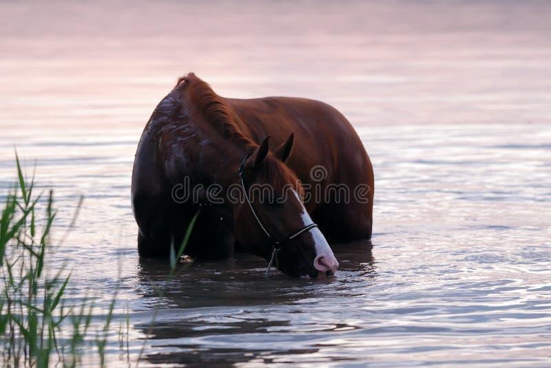 Het paard dat van de kastanje zich in het water bevindt stock afbeelding