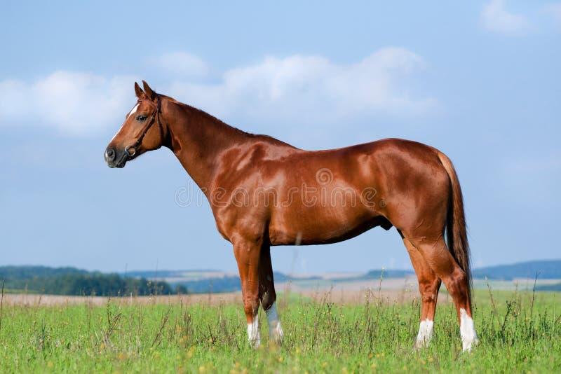 Het paard dat van de kastanje zich op gebied bevindt royalty-vrije stock fotografie