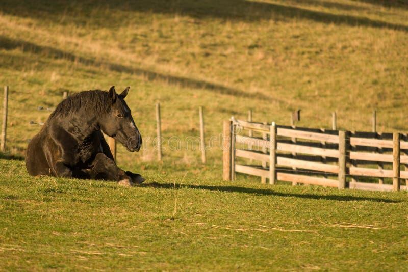 Het Paard dat van Percheron op Gebied legt royalty-vrije stock foto's