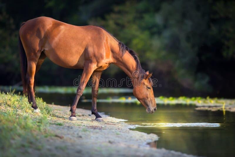Het paard drinkt water stock afbeeldingen