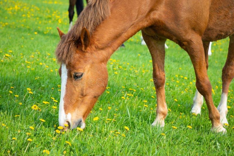 Het paard eet de lentegras op een gebied royalty-vrije stock afbeeldingen