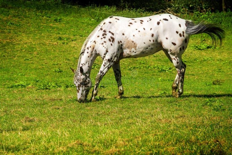 Het paard met witte bruine stippen weidt op het weiland royalty-vrije stock afbeeldingen
