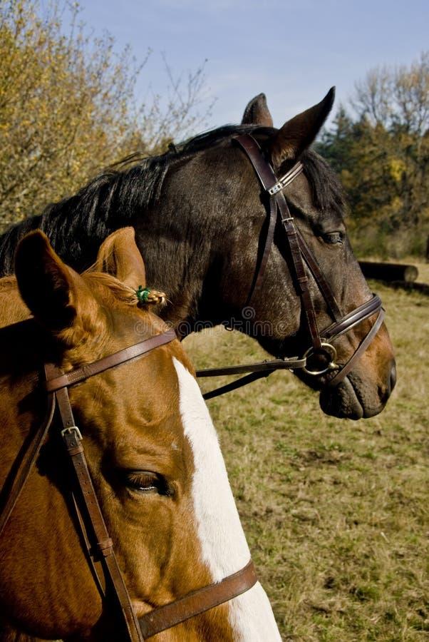 Het paard toont het Gebied van het Weiland stock foto's