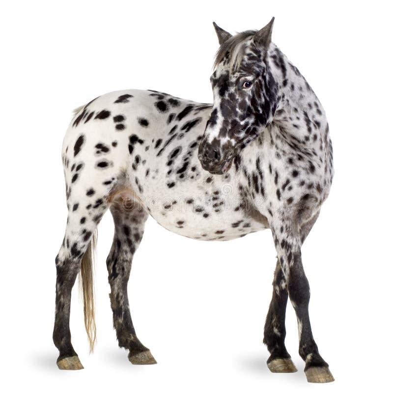 Het paard van Appaloosa stock fotografie