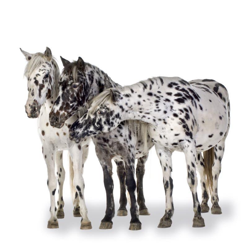 Het paard van Appaloosa royalty-vrije stock foto