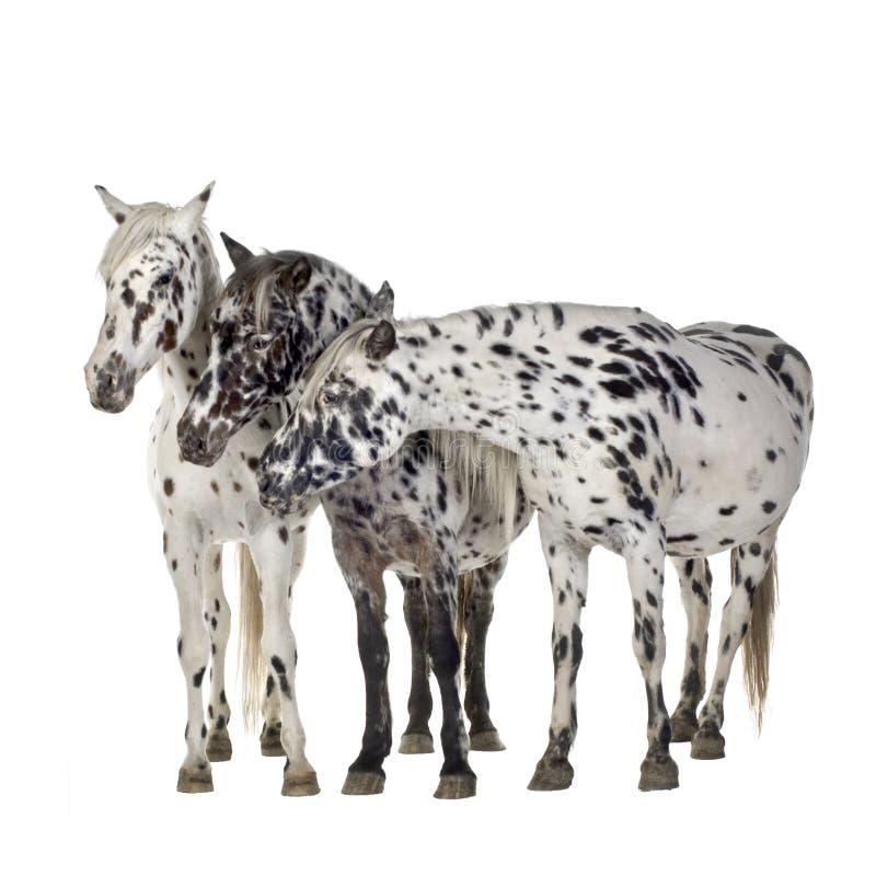 Het paard van Appaloosa royalty-vrije stock fotografie