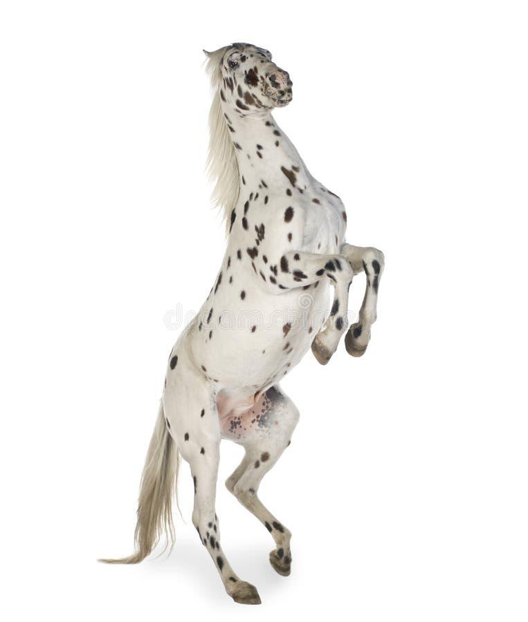 Het paard van Appaloosa royalty-vrije stock foto's