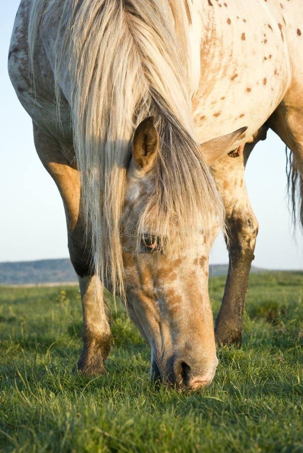 Het paard van Appaloosa het weiden. stock fotografie