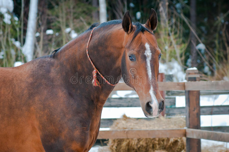 Het paard van de baai op de paddock van de winter royalty-vrije stock afbeeldingen