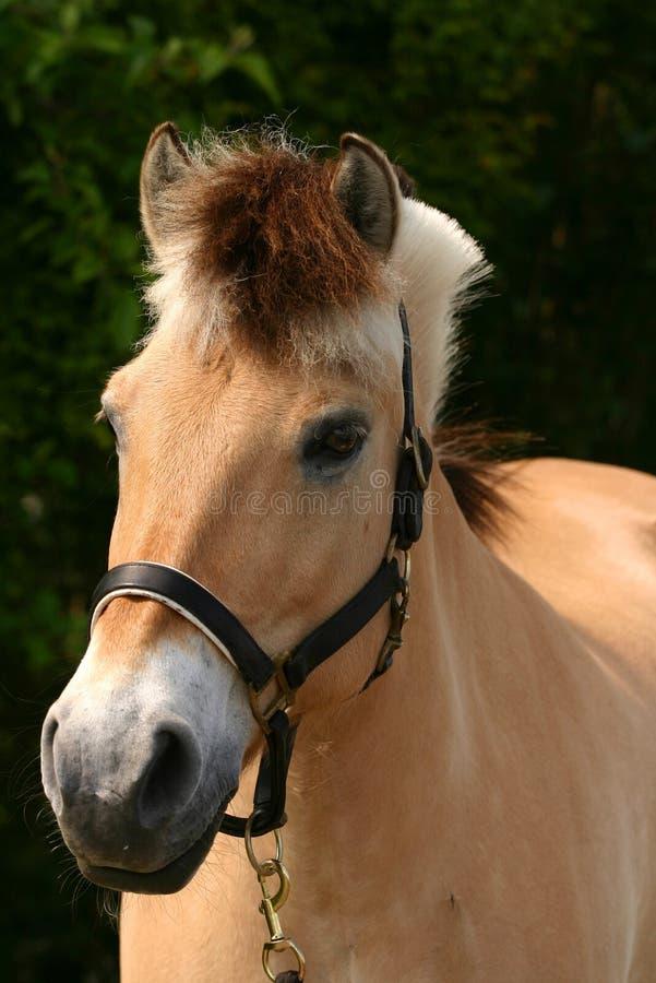 Het paard van de fjord royalty-vrije stock foto's