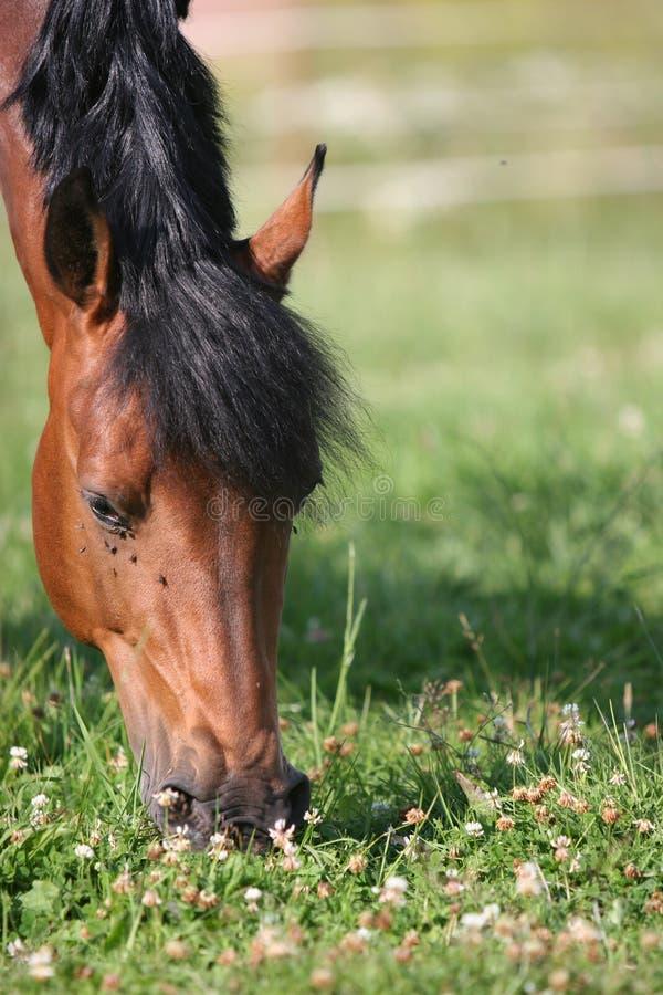 Het paard van de kastanje stock afbeelding