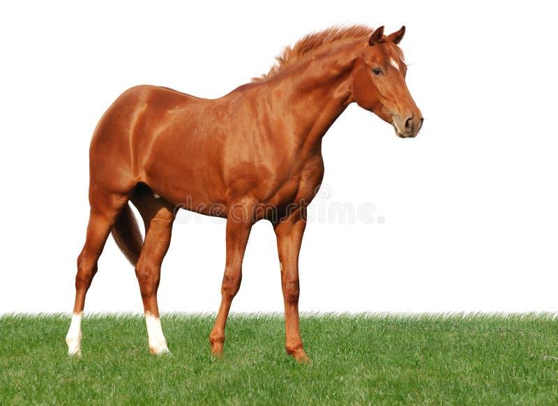 Het paard van de kastanje op gras dat op wit wordt geïsoleerd
