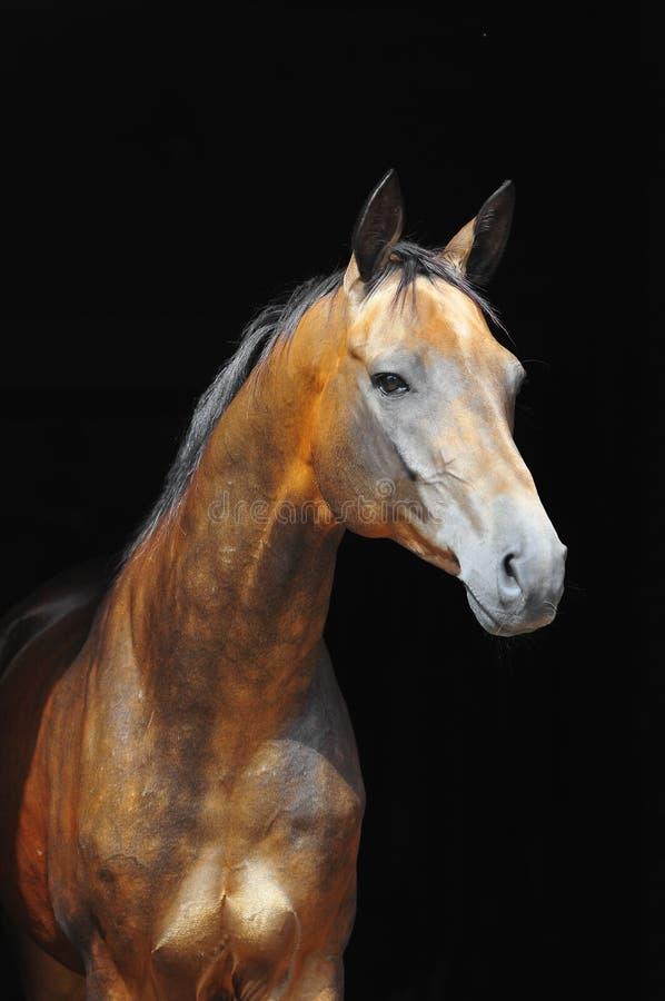 Het paard van Dun akhal-teke stock afbeeldingen