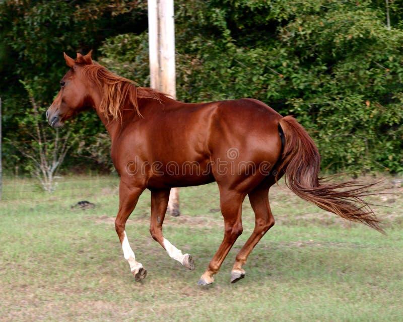 Het Paard van het kwart royalty-vrije stock foto's